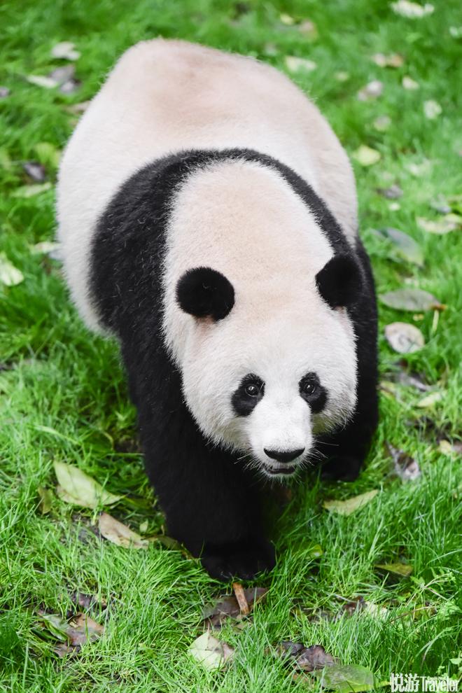 SUNDAY  9:00 AM | 六善酒店熊猫谷导览  相比动物园,承担繁育研究任务的熊猫谷(panda.org.cn)与自然环...