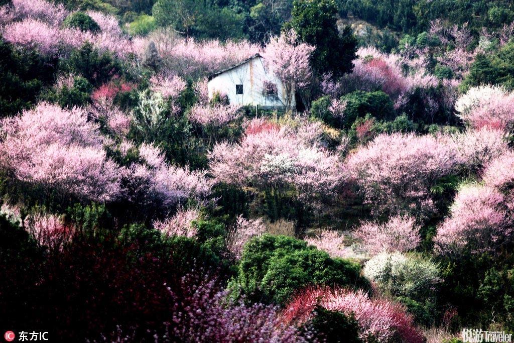 安徽黄山歙县多景园梅溪也是闻名遐迩的赏梅胜地,深受安徽的朋友们欢迎。