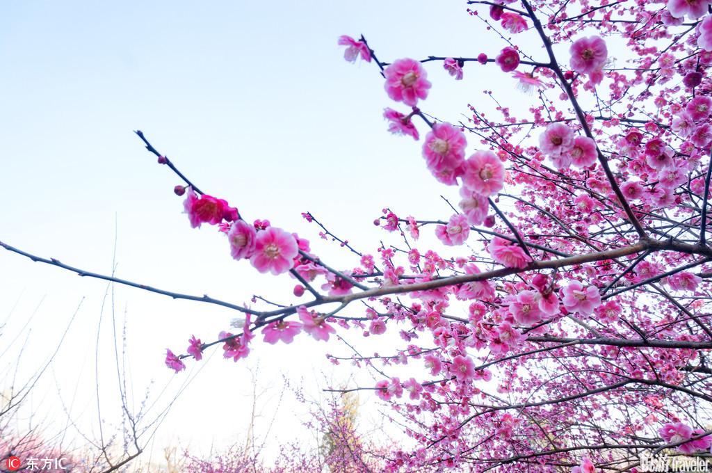 杭州孤山的梅,俏丽活泼,倚青山,靠碧水,红得地道,白得剔透。
