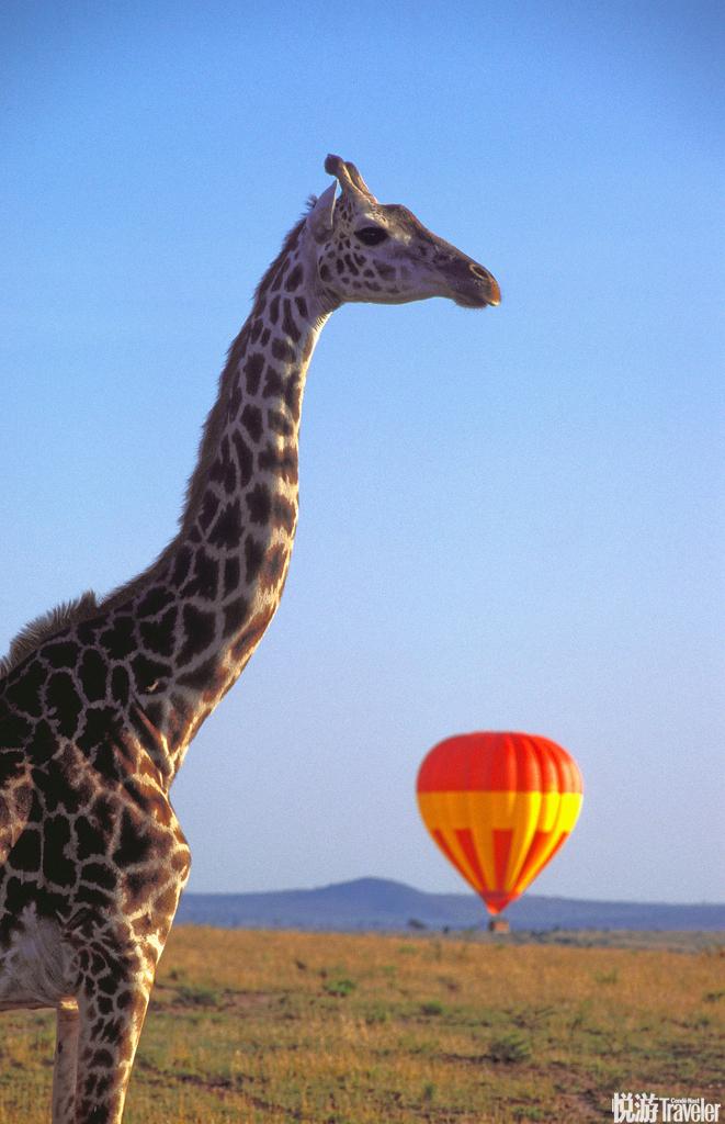 肯尼亚马赛马拉清晨乘坐热气球在宁谧平静的晨曦中,穿过非洲这片原始土地的大草原和河流。数以千计的斑马...