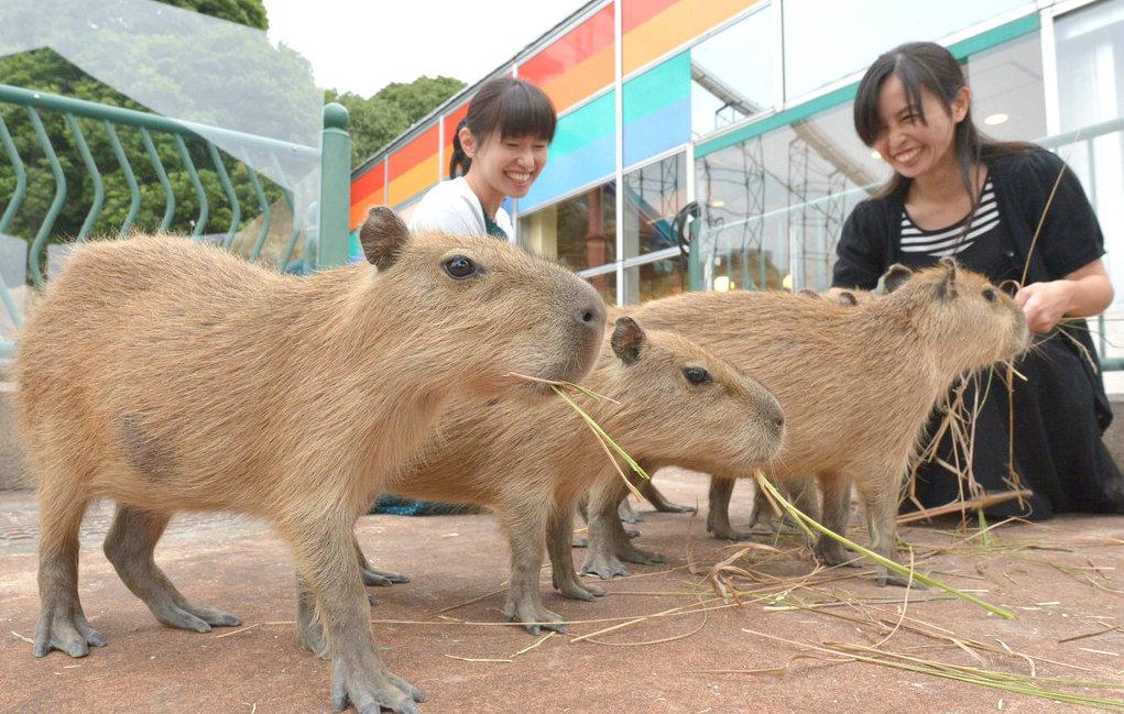 水豚是世界上最大的啮齿类动物
