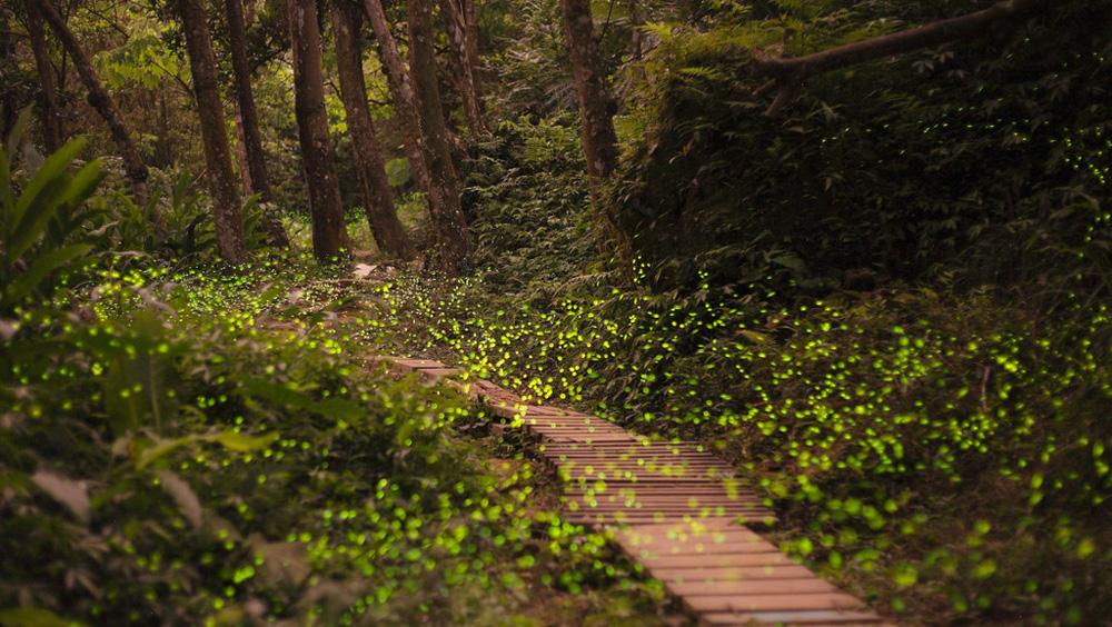 森林变身童话世界 数百萤火虫照亮曲径深处图片