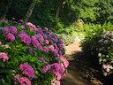 由Madison Cox所设计的花园里,蜿蜒的绣球花小道两边的花丛中种着超过60个花卉品种。