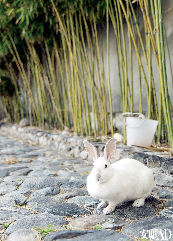 后院种了些竹子,春天有竹笋吃,养了一只叫小玉的老兔子。