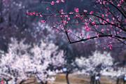 江苏无锡,梅园位于无锡西郊的东山和浒山南坡,园内遍植梅树,是江南著名的赏梅胜地之一,园内植梅5500多...