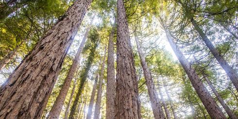穿越樹洞,仰視望不到頂的巨杉和紅杉