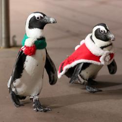 日本海岛乐园举行游行 企鹅大摇大摆过圣诞