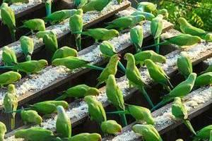 """印度""""鸟人""""大爷和他的4000只绿皮鹦鹉"""