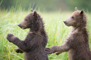 摄影师拍阿拉斯加棕熊日常