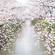 樱花季 东京活色生香