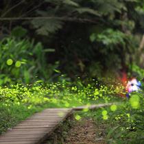 台湾森林变身童话世界 数百萤火虫照亮曲径深处