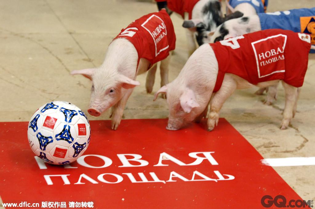 2015年美洲杯于6月11日至7月4日在智利举行,将有12支队伍参加此次比赛,吸引球迷的目光。今日盘点了热爱玩球的动物界明星们,它们身手矫健,堪比绿茵场上的运动员们!2006年4月16日,俄罗斯莫斯科,第3届小猪奥林匹克比赛开幕。