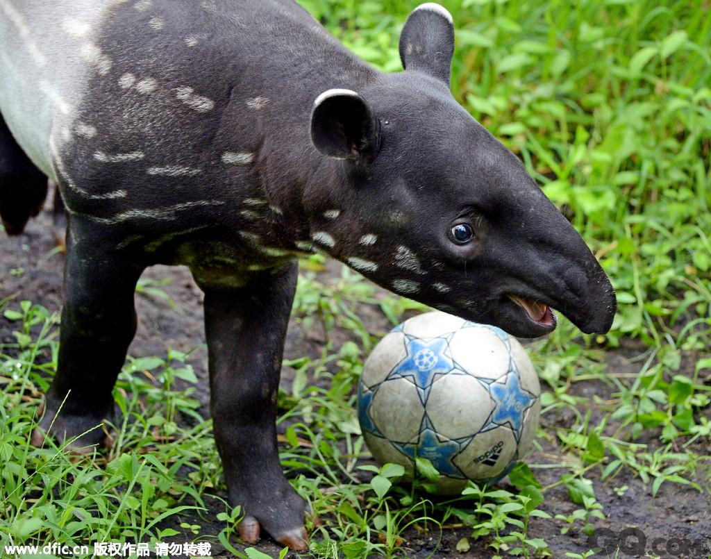 2013年5月22日,德国莱比锡,莱比锡动物园的马来獏巴鲁预测了12/13赛季欧冠的冠军,巴鲁是将萝卜移动到了代表多特的足球前,代表多特蒙德将战胜拜仁夺冠。