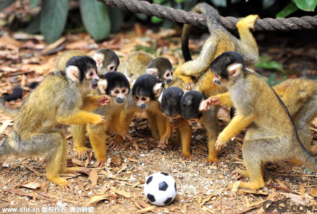 2011年8月18日,英国伦敦,在伦敦动物园有一只名叫Bounty的男性松鼠猴,自它来到动物园后的三年时间里一共繁衍了11只小松鼠猴。上个月它的 第11个孩子也顺利诞生,11人刚好凑齐一支足球队,于是动物园哪来玩具足球给猴儿们玩耍,小家伙们也玩的很兴起,看来天生为足球而生啊!
